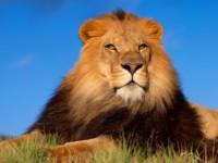 Лев в нефтеюганском зоопарке