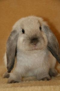 Кролик Баран: фото породы • содержание